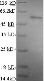 SDS-PAGE separation of QP6000 followed by commassie total protein stain results in a primary band consistent with reported data for Estrogen Receptor 2. These data demonstrate Greater than 90% as determined by SDS-PAGE.