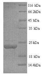 SDS-PAGE separation of QP6022 followed by commassie total protein stain results in a primary band consistent with reported data for Fas Ligand / FASLG / CD95L. These data demonstrate Greater than 90% as determined by SDS-PAGE.