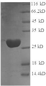 SDS-PAGE separation of QP6127 followed by commassie total protein stain results in a primary band consistent with reported data for Glutathione S-transferase P. These data demonstrate Greater than 90% as determined by SDS-PAGE.