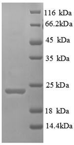 SDS-PAGE separation of QP6145 followed by commassie total protein stain results in a primary band consistent with reported data for TIM3. These data demonstrate Greater than 90% as determined by SDS-PAGE.