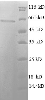SDS-PAGE separation of QP6152 followed by commassie total protein stain results in a primary band consistent with reported data for HDAC3 / Histone deacetylase 3. These data demonstrate Greater than 90% as determined by SDS-PAGE.