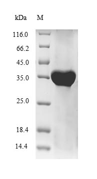 SDS-PAGE separation of QP6167 followed by commassie total protein stain results in a primary band consistent with reported data for HLA-G. These data demonstrate Greater than 90% as determined by SDS-PAGE.