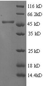 SDS-PAGE separation of QP6179 followed by commassie total protein stain results in a primary band consistent with reported data for 4-hydroxyphenylpyruvate dioxygenase. These data demonstrate Greater than 90% as determined by SDS-PAGE.
