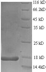 SDS-PAGE separation of QP6212 followed by commassie total protein stain results in a primary band consistent with reported data for IL17 / IL17A. These data demonstrate Greater than 90% as determined by SDS-PAGE.