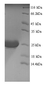 SDS-PAGE separation of QP6213 followed by commassie total protein stain results in a primary band consistent with reported data for IL-1 alpha / IL1A / IL1F1 Protein. These data demonstrate Greater than 90% as determined by SDS-PAGE.