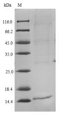 SDS-PAGE separation of QP6222 followed by commassie total protein stain results in a primary band consistent with reported data for IL4 / Interleukin-4. These data demonstrate Greater than 90% as determined by SDS-PAGE.