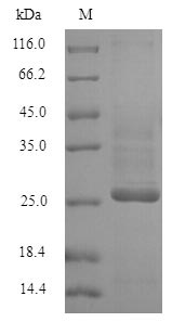 SDS-PAGE separation of QP6253 followed by commassie total protein stain results in a primary band consistent with reported data for KCND1. These data demonstrate Greater than 90% as determined by SDS-PAGE.