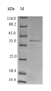 SDS-PAGE separation of QP6306 followed by commassie total protein stain results in a primary band consistent with reported data for Lutropin-choriogonadotropic hormone receptor. These data demonstrate Greater than 90% as determined by SDS-PAGE.