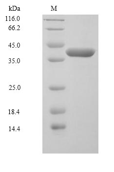 SDS-PAGE separation of QP6338 followed by commassie total protein stain results in a primary band consistent with reported data for MKK6 / MEK6 / MAP2K6. These data demonstrate Greater than 90% as determined by SDS-PAGE.