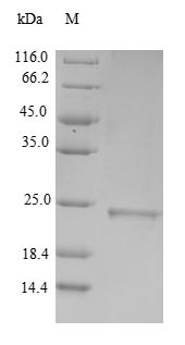 SDS-PAGE separation of QP6390 followed by commassie total protein stain results in a primary band consistent with reported data for Metallothionein-3. These data demonstrate Greater than 90% as determined by SDS-PAGE.