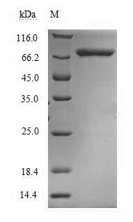 SDS-PAGE separation of QP6391 followed by commassie total protein stain results in a primary band consistent with reported data for Methylenetetrahydrofolate reductase. These data demonstrate Greater than 90% as determined by SDS-PAGE.