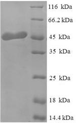 SDS-PAGE separation of QP6449 followed by commassie total protein stain results in a primary band consistent with reported data for OGN / osteoglycin. These data demonstrate Greater than 90% as determined by SDS-PAGE.