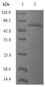 SDS-PAGE separation of QP6570 followed by commassie total protein stain results in a primary band consistent with reported data for Ras-related protein Rab-4A. These data demonstrate Greater than 80% as determined by SDS-PAGE.