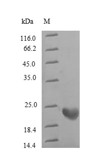 SDS-PAGE separation of QP6608 followed by commassie total protein stain results in a primary band consistent with reported data for Rhodopsin. These data demonstrate Greater than 90% as determined by SDS-PAGE.