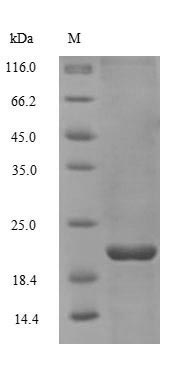 SDS-PAGE separation of QP6610 followed by commassie total protein stain results in a primary band consistent with reported data for Non-secretory ribonuclease. These data demonstrate Greater than 90% as determined by SDS-PAGE.