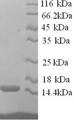 SDS-PAGE separation of QP6613 followed by commassie total protein stain results in a primary band consistent with reported data for RING-box protein 2. These data demonstrate Greater than 90% as determined by SDS-PAGE.