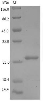 SDS-PAGE separation of QP6625 followed by commassie total protein stain results in a primary band consistent with reported data for 60S acidic ribosomal protein P1. These data demonstrate Greater than 90% as determined by SDS-PAGE.