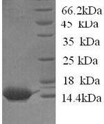 SDS-PAGE separation of QP6647 followed by commassie total protein stain results in a primary band consistent with reported data for Serum amyloid A protein. These data demonstrate Greater than 80% as determined by SDS-PAGE.