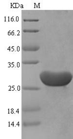 SDS-PAGE separation of QP6648 followed by commassie total protein stain results in a primary band consistent with reported data for Serum amyloid A-1 protein. These data demonstrate Greater than 87.6% as determined by SDS-PAGE.