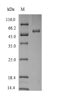 SDS-PAGE separation of QP6669 followed by commassie total protein stain results in a primary band consistent with reported data for SerpinB2 / PAI-2. These data demonstrate Greater than 90% as determined by SDS-PAGE.
