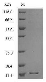 SDS-PAGE separation of QP6680 followed by commassie total protein stain results in a primary band consistent with reported data for Surfactant-associated protein 3. These data demonstrate Greater than 90% as determined by SDS-PAGE.