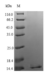 SDS-PAGE separation of QP6688 followed by commassie total protein stain results in a primary band consistent with reported data for Apoptosis regulatory protein Siva. These data demonstrate Greater than 90% as determined by SDS-PAGE.
