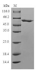 SDS-PAGE separation of QP6693 followed by commassie total protein stain results in a primary band consistent with reported data for SLC25A20. These data demonstrate Greater than 80% as determined by SDS-PAGE.