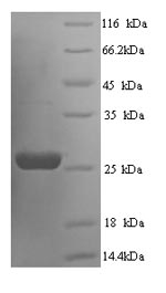 SDS-PAGE separation of QP6713 followed by commassie total protein stain results in a primary band consistent with reported data for Suppressor of cytokine signaling 3. These data demonstrate Greater than 90% as determined by SDS-PAGE.