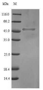 SDS-PAGE separation of QP6718 followed by commassie total protein stain results in a primary band consistent with reported data for Transcription factor SOX-2. These data demonstrate Greater than 90% as determined by SDS-PAGE.