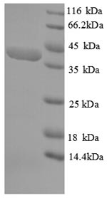 SDS-PAGE separation of QP6720 followed by commassie total protein stain results in a primary band consistent with reported data for SPEG / APEG-1. These data demonstrate Greater than 90% as determined by SDS-PAGE.