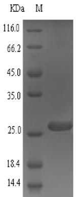 SDS-PAGE separation of QP6723 followed by commassie total protein stain results in a primary band consistent with reported data for Small proline-rich protein 2A. These data demonstrate Greater than 90% as determined by SDS-PAGE.