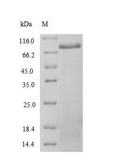 SDS-PAGE separation of QP6725 followed by commassie total protein stain results in a primary band consistent with reported data for Spectrin alpha chain