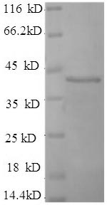 SDS-PAGE separation of QP6757 followed by commassie total protein stain results in a primary band consistent with reported data for Synaptotagmin-1. These data demonstrate Greater than 90% as determined by SDS-PAGE.