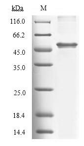 SDS-PAGE separation of QP6770 followed by commassie total protein stain results in a primary band consistent with reported data for Tryptophan 2
