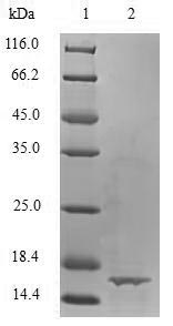 SDS-PAGE separation of QP6778 followed by commassie total protein stain results in a primary band consistent with reported data for TGF-beta 1 / TGFB1. These data demonstrate Greater than 90% as determined by SDS-PAGE.