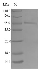 SDS-PAGE separation of QP6792 followed by commassie total protein stain results in a primary band consistent with reported data for TIMM17B. These data demonstrate Greater than 80% as determined by SDS-PAGE.