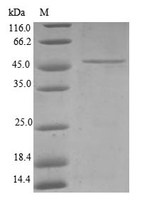 SDS-PAGE separation of QP6793 followed by commassie total protein stain results in a primary band consistent with reported data for TIMM23. These data demonstrate Greater than 80% as determined by SDS-PAGE.