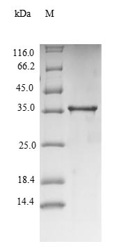 SDS-PAGE separation of QP6811 followed by commassie total protein stain results in a primary band consistent with reported data for TNF-alpha. These data demonstrate Greater than 90% as determined by SDS-PAGE.