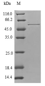 SDS-PAGE separation of QP6828 followed by commassie total protein stain results in a primary band consistent with reported data for TPM4 / Tropomyosin 4. These data demonstrate Greater than 80% as determined by SDS-PAGE.