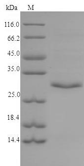 SDS-PAGE separation of QP6832 followed by commassie total protein stain results in a primary band consistent with reported data for Tryptase beta-2. These data demonstrate Greater than 90% as determined by SDS-PAGE.