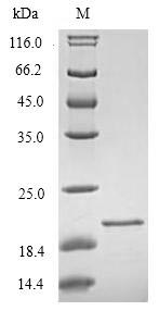 SDS-PAGE separation of QP6839 followed by commassie total protein stain results in a primary band consistent with reported data for TREM2. These data demonstrate Greater than 90% as determined by SDS-PAGE.