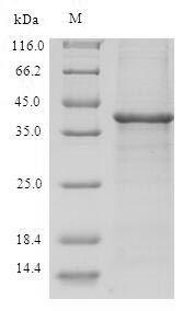 SDS-PAGE separation of QP6858 followed by commassie total protein stain results in a primary band consistent with reported data for TXNDC17 / TRP14 / TXNL5. These data demonstrate Greater than 90% as determined by SDS-PAGE.