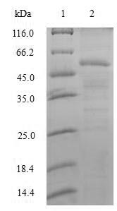 SDS-PAGE separation of QP6861 followed by commassie total protein stain results in a primary band consistent with reported data for Splicing factor U2AF 35 kDa subunit. These data demonstrate Greater than 80% as determined by SDS-PAGE.