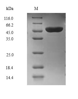 SDS-PAGE separation of QP6865 followed by commassie total protein stain results in a primary band consistent with reported data for Ubiquitin-protein ligase E3A. These data demonstrate Greater than 90% as determined by SDS-PAGE.