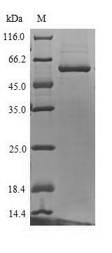 SDS-PAGE separation of QP6870 followed by commassie total protein stain results in a primary band consistent with reported data for UDP-glucuronosyltransferase 1-4. These data demonstrate Greater than 90% as determined by SDS-PAGE.