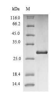 SDS-PAGE separation of QP6882 followed by commassie total protein stain results in a primary band consistent with reported data for Immunoglobulin iota chain. These data demonstrate Greater than 90% as determined by SDS-PAGE.