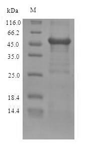 SDS-PAGE separation of QP6912 followed by commassie total protein stain results in a primary band consistent with reported data for ZRANB2. These data demonstrate Greater than 90% as determined by SDS-PAGE.