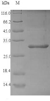 SDS-PAGE separation of QP6921 followed by commassie total protein stain results in a primary band consistent with reported data for 2S albumin. These data demonstrate Greater than 90% as determined by SDS-PAGE.