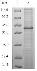 SDS-PAGE separation of QP6943 followed by commassie total protein stain results in a primary band consistent with reported data for cagA. These data demonstrate Greater than 80% as determined by SDS-PAGE.