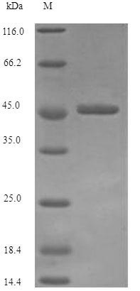SDS-PAGE separation of QP7226 followed by commassie total protein stain results in a primary band consistent with reported data for Vacuolating cytotoxin autotransporter. These data demonstrate Greater than 90% as determined by SDS-PAGE.
